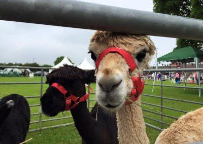 alpacas-for-sale-yorkshire (1)