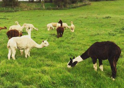 alpacas-for-sale-yorkshire (10)