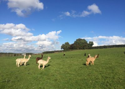 alpacas-for-sale-yorkshire (4)