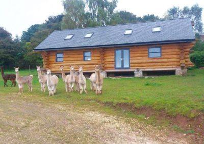 alpacas-for-sale-yorkshire (5)