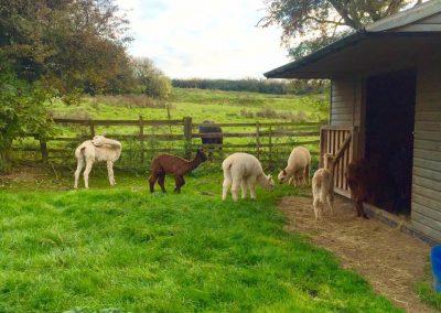 alpacas-for-sale-yorkshire (7)