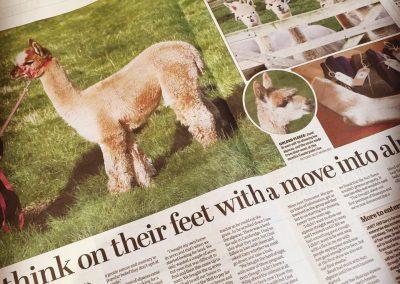 alpacas-for-sale-yorkshire (8)