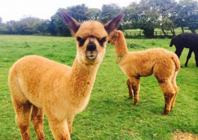 alpacas-for-sale-yorkshire (9)