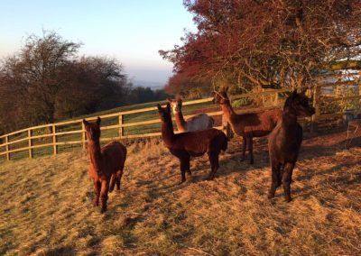 alpacas-yorkshire (10)