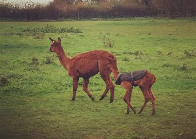 alpacas-yorkshire (6)