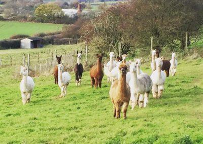 alpacas yorkshire