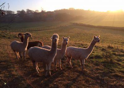 alpacas-yorkshire (8)