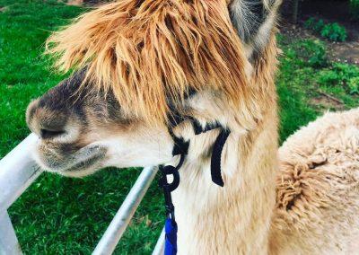 clifton-alpacas-yorkshire (10)