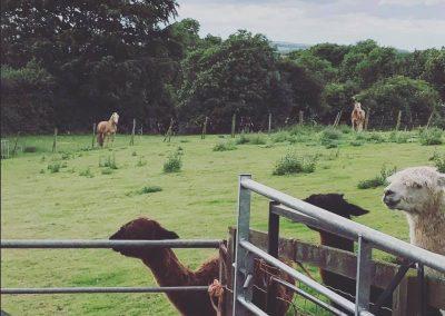 clifton-alpacas-yorkshire (11)