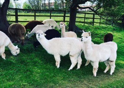 clifton-alpacas-yorkshire (2)