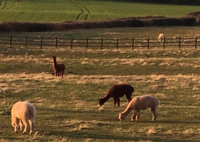 clifton-alpacas-yorkshire (3)
