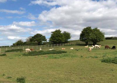clifton-alpacas-yorkshire (4)