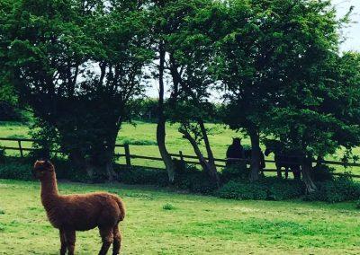 clifton-alpacas-yorkshire (6)